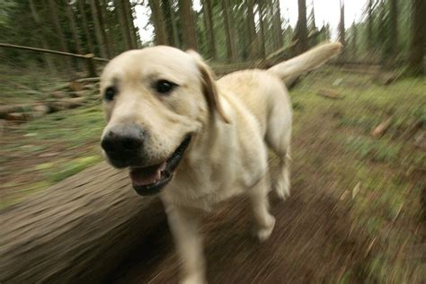 lab puppies seattle for seattle owners labrador retriever is the favorite the seattle times