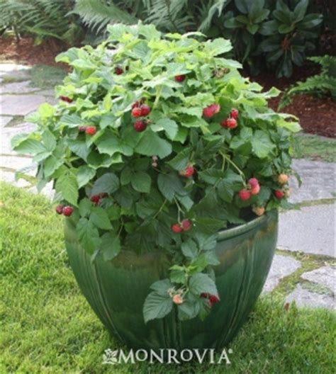 an alameda garden raspberries in containers you can grow