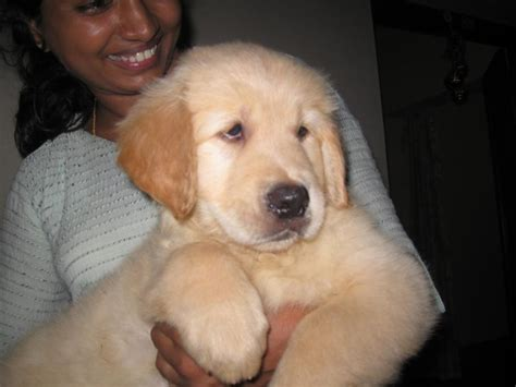 golden retriever puppy price golden retriever puppies for sale sreekumar 1 6831 dogs for sale price of