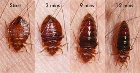 information about bed bugs 10 facts about bed bugs fact file