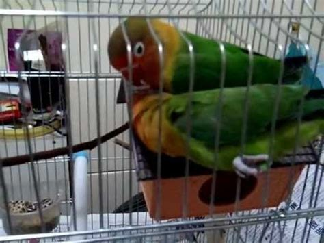 my love birds at home youtube