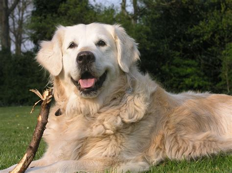 adopt a golden retriever uk dogs available for adoption now breeds picture