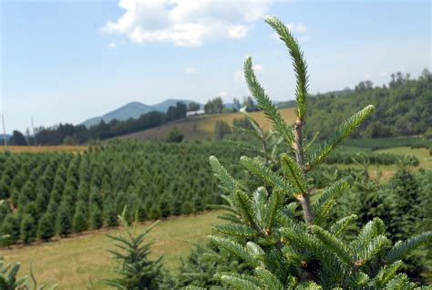 one tree planted for every christmas tree sold whole