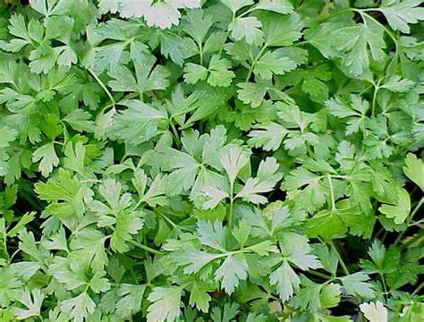 Jual Bibit Oregano parsley flat 50 benih toko benih tanaman