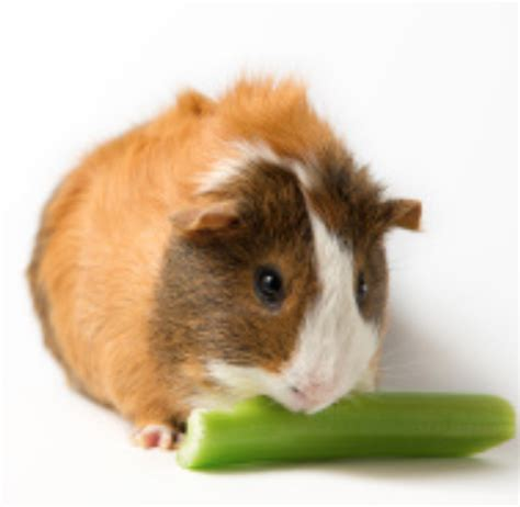 can a eat celery can guinea pigs eat celery a guide guinea pig hub