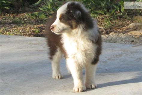 australian shepherd puppies for sale in oklahoma australian shepherd puppy for sale in oklahoma city breeds picture
