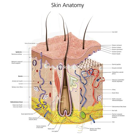 Healthy Section by Skin Illustrations Skin Anatomy Created By Qualified