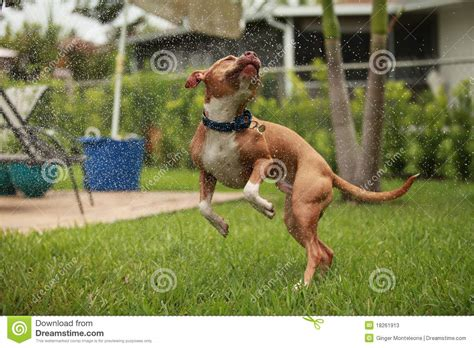 Dancer Pit American Pit Bull Terrier Royalty Free Stock Photos