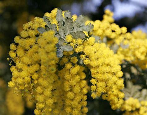 acacia baileyana tree seeds cootamundra wattle golden mimosa bailey acacia seeds for