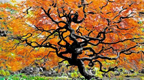 maple tree lifespan japanese maple tree of photography by russ harris san diego photographer