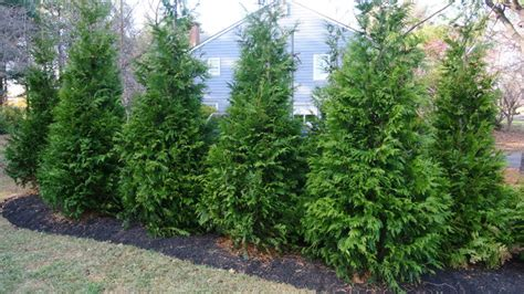 backyard privacy trees reston privacy trees landscape other metro
