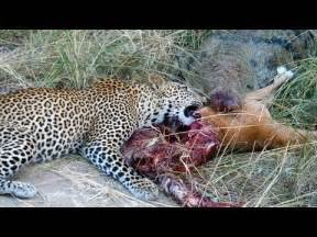 Jaguar Fighting Crocodile Crocodile Vs Leopard Fight For Impala
