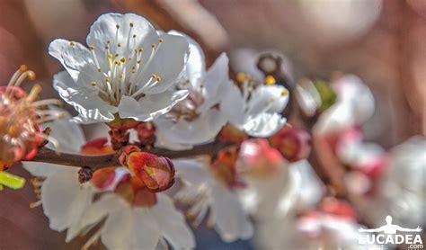 fiori di albicocco fiori albicocco lucadea