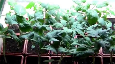 grow lights for tomatoes growing tomatoes indoors related to growing cherry