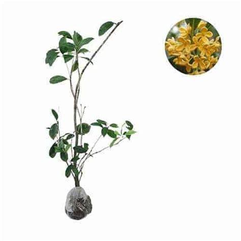 Tanaman Daun Puring Oscar jual tanaman puring oscar bibit