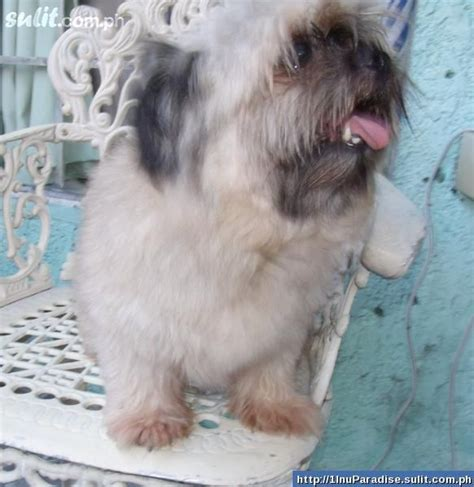 pomeranian crossed with shih tzu 17 best images about pomeranian shih tzu on morkie puppies for sale