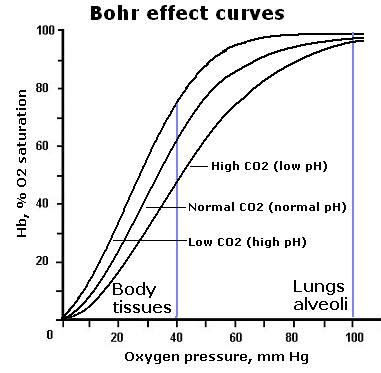 bohr effect diagram bohr effect explained why oxygen is released in tissues