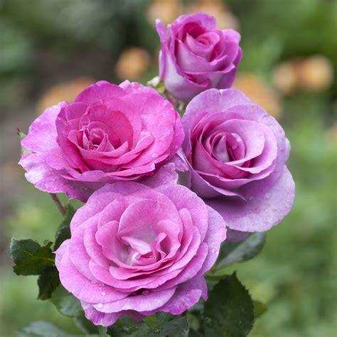 Fleur Violette by Rosier 224 Grandes Fleurs Violette Parfum 233 E Fleurs Violet