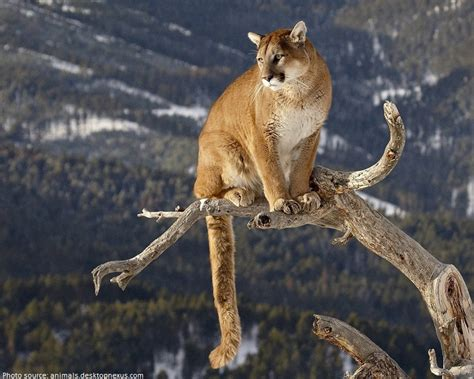 imagenes kitty pumas interesting facts about pumas just fun facts