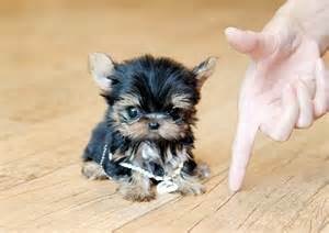 Small Dogs Free To Home Barnsley 25 Best Ideas About Small Puppies For Sale On