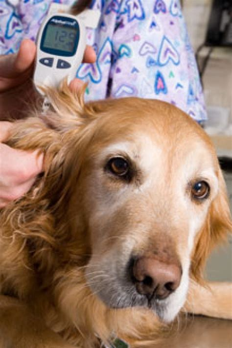 diabetic dogs preventing and treating canine diabetes the bark