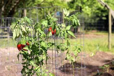 pomodoro coltivazione in vaso coltivazione pomodori pomodoro come coltivare pomodori