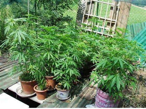 coltivare marijuana in casa senza lade scoperto con 1 5 kg di marijuana in casa arrestato 30enne