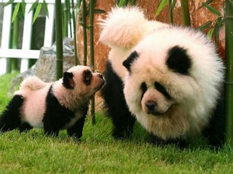 dogs that look like pandas dogs that look like pandas animals