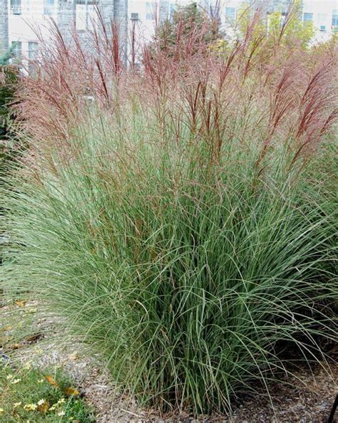miscanthus quot morning light quot is a hardy deciduous grass