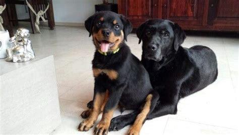 12 week rottweiler puppy rottweiler puppy louie 12 weeks rottweiler