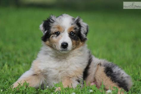 australian shepherd puppies in michigan australian shepherd for sale for 900 near grand rapids michigan d8bfc08a 8da1