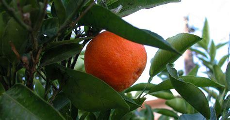 when do satsuma trees produce fruit how to plant a mandarin orange seed ehow uk