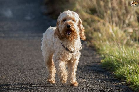Do Bernedoodles Shed by 100 Do Cockapoo Dogs Shed A Lot Peekapoo Breed