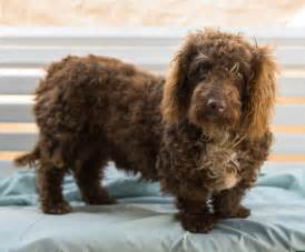living with australian shepherd bassetoodle basset hound poodle mix info temperament