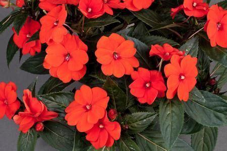impatiens sunpatiens orange mm pot dawsons garden world