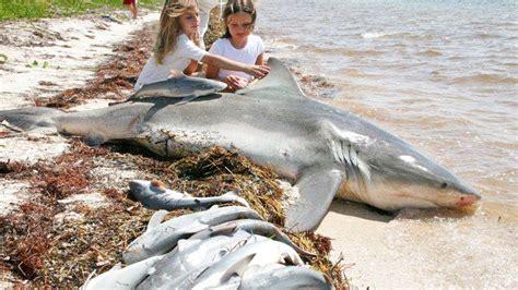 baby shark natal wonderful women help shark giving birth to 20 baby on the
