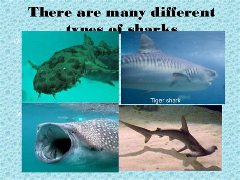 Shark Powerpoint Shark Powerpoint