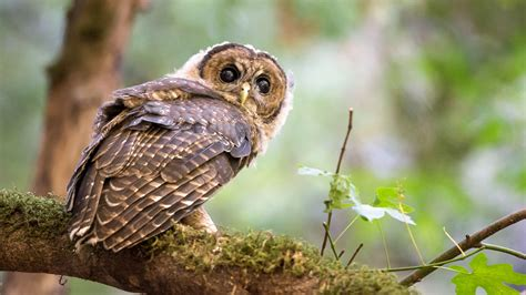 northern spotted owls bullied onto california s threatened