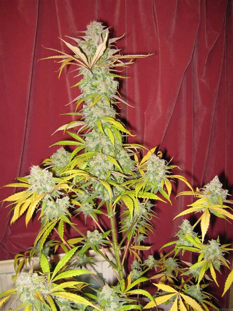 x strain seeds grapefruit x blueberry by chimera seeds seedfinder