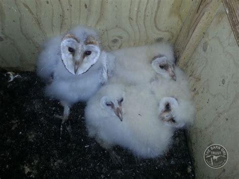 Barn Owl Lifespan brood of 4 barn owl nestlings the barn owl trust