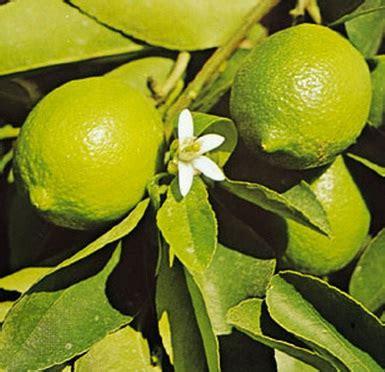 Jual Bibit Jeruk Nipis Samarinda buah jeruk nipis jual tanaman hias