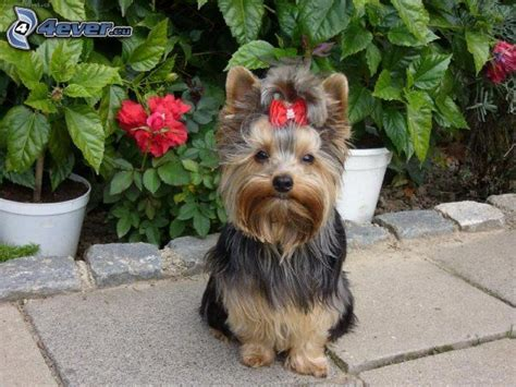 yorkshire beds yorkshire terrier with ribbon