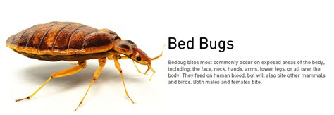 bed bug removal kitchener pest control waterloo pest control guelph pest