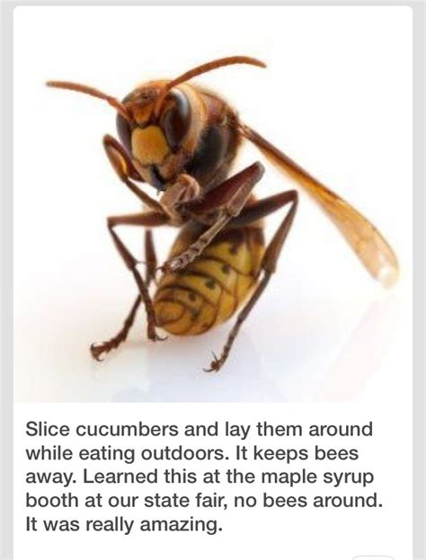 Keep Bees Away From House by Slice Cucumbers To Keep Bees Away Musely