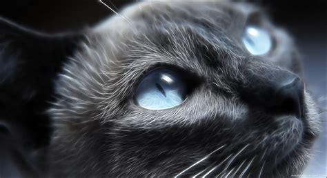 Yeux bleus chats animaux le chat Papier peint
