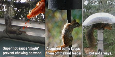squirrel prevention tips attic house garden bird feeder
