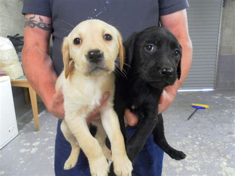 lab cross golden retriever labrador retriever cross golden retriever carluke lanarkshire pets4homes