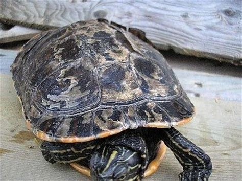 Do Eared Sliders Shed by How Do Turtles Shed Their Shells Quora