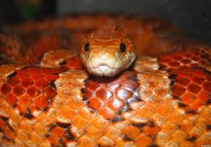 corn snake picture by nevena for snakes photography