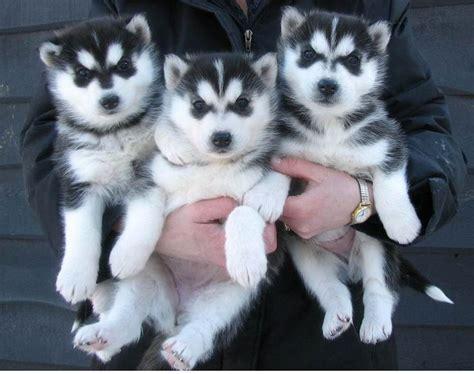 where to buy husky puppies alaskan malamute siberian husky mix puppies free siberian husky puppies stuff to